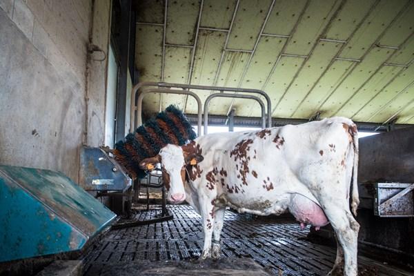 Atelier câlinage avec les vaches